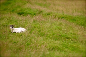 Ram in a grassy field.